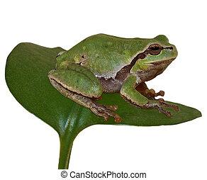 European tree frog, Hyla arborea - European tree frog on...