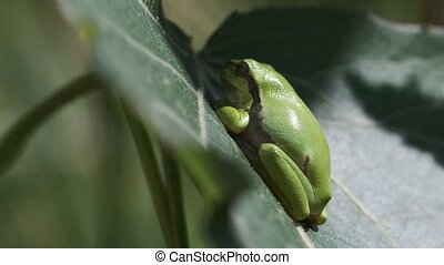 European tree frog in a side view - European tree frog -...