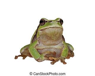 European tree frog isolated on white background, Hyla...
