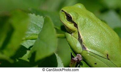 European tree frog - side view - European tree frog - Hyla ...