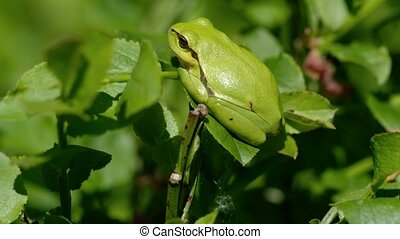 European tree frog - sunbathing - European tree frog - Hyla...