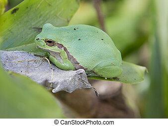 treefrog - european treefrog Hyla Savignyi sitting on a leaf