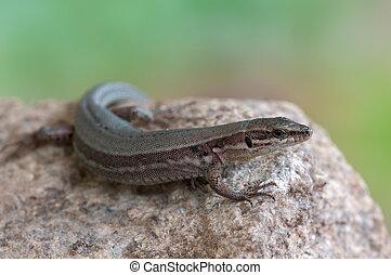 European wall lizard