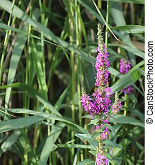 European Wand Loosestrife - Blossoms of european wand...
