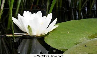 European white water lily. Nymphaea alba