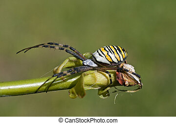 European white - yellow spider ( Argiope bruennichi )