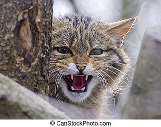 European wild cat (Felis silvestris silvestris) is...