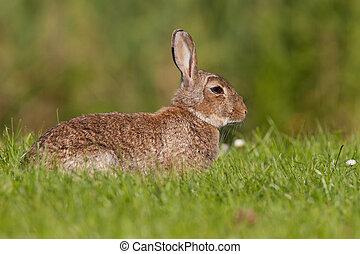 European wild rabbit laying in a grass field