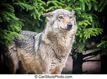 European wolf in forest