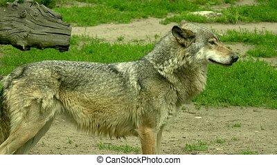 European wolf in forest - European wolf in the forest