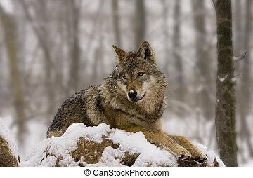 European wolf like a diorama