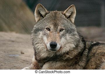 european wolf - portrait of a european gray wolf