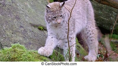 European young lynx cat walks and sits down in the forest -...