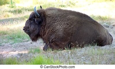 europejczyk, bison., (aurochs), (bison, bo