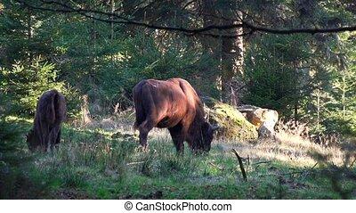 europejczyk, bizon, w, las