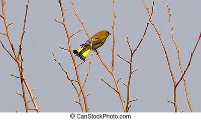 europejczyk, greenfinch