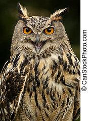 europeo, búho águila, -, tierras altas escocesas