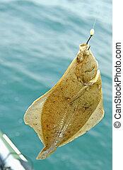 europeo, flounder., platija, chiripa