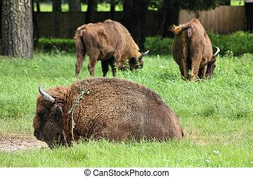europeu, bisons