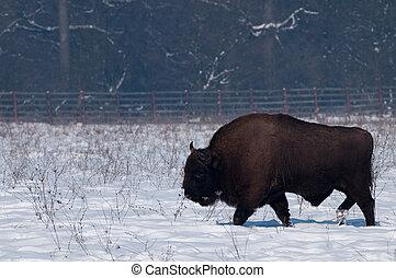 europeu, bisonte, (bison, bonasius), em, inverno