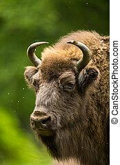 europeu, bisonte, (bison, bonasus)