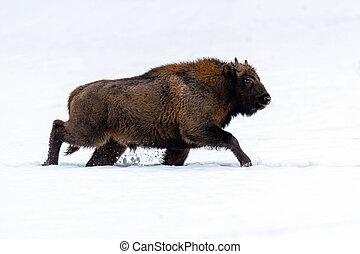 europeu, bisonte, (bison, bonasus), em, natural, habitat