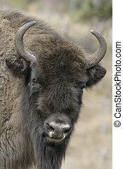 europeu, bisonte, bisonte, bonasus