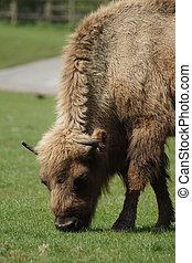 europeu, bisonte, -, bisonte, bonasus