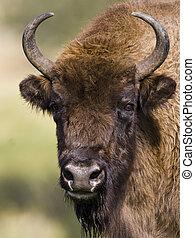 europeu, bisonte, -, bisonte, bonasus, -, belarussia