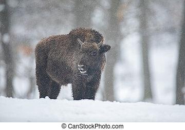 europeu, bisonte, bisonte, bonasus, em, a, floresta, com,...