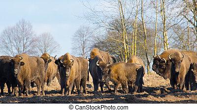 europeu, bisonte, hurd, em, inverno