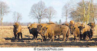 europeu, bisonte, inverno, hurd