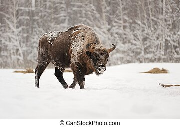 europeu, bisonte, macho, em, inverno, floresta
