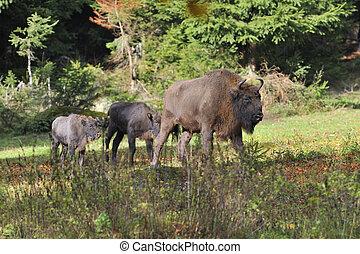 europeu, bisonte, rebanho
