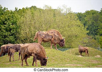 europeu, bisonte, rebanho, em, fota, fauna, parque