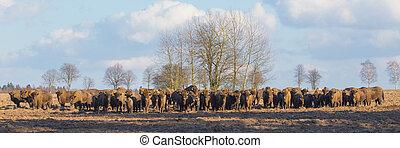 europeu, bisonte, rebanho, em, inverno, dia ensolarado