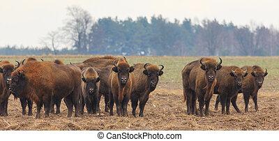 europeu, bisonte, rebanho, em, snowless, inverno