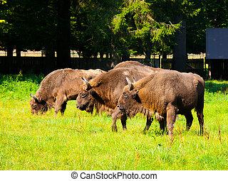 europeu, madeira, bisonte, rebanho