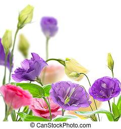 eustoma., farverig, blooming