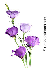 Eustoma flowers