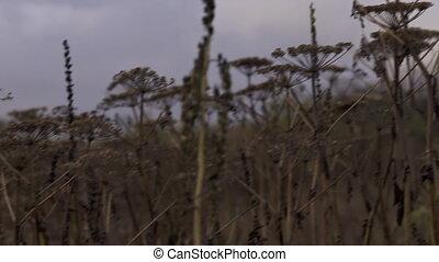 Evening Field of Dried Pushki Stalk - Pan across a scene of...