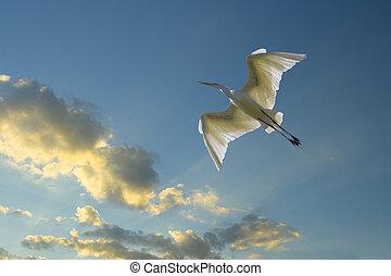 Evening flight - great egret flying, Casmerodius, albus
