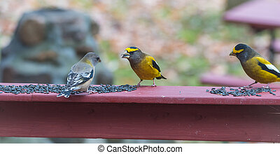 Evening Grosbeaks(Coccothraustes vespertinus) gathered ...