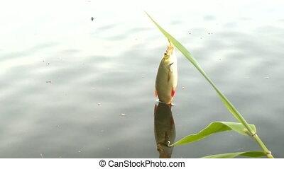 evening lake freshwater fishing for Rudd - fishing on...