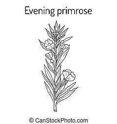 Evening primrose Oenothera biennis , or suncups, sundrops, ornamental and medicinal plant. Hand drawn botanical vector illustration