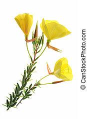 Evening primrose (Oenothera) - blossoming common evening ...