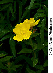 Yellow evening primrose flowers or Oenothera macrocarpa in full bloom and surrounding foliage