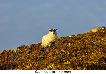 Evening sunshine on a lone horned sheep, standing in a field of heather on the side of a hill, looking straight at the viewer, with a blue sky