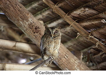 Everett's scops owl (Otus everetti) in Rajah Sikatuna...