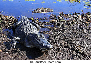 Everglades Alligator - Closeup of a wild American alligator...